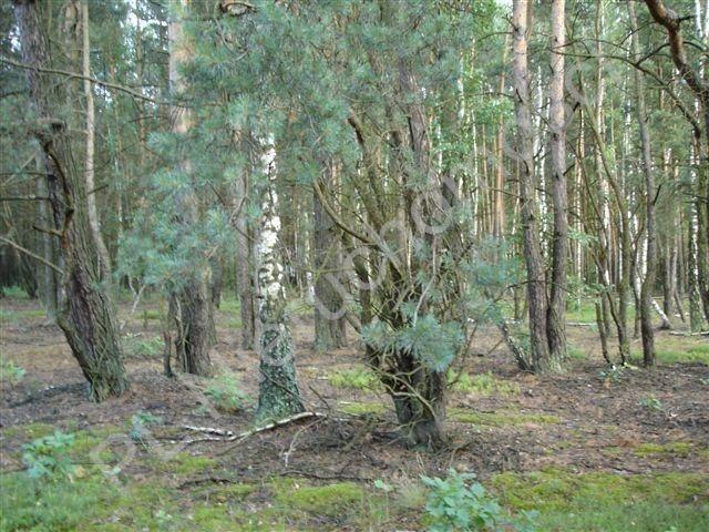 Działka leśna na sprzedaż Ołdakowizna  7774m2 Foto 3