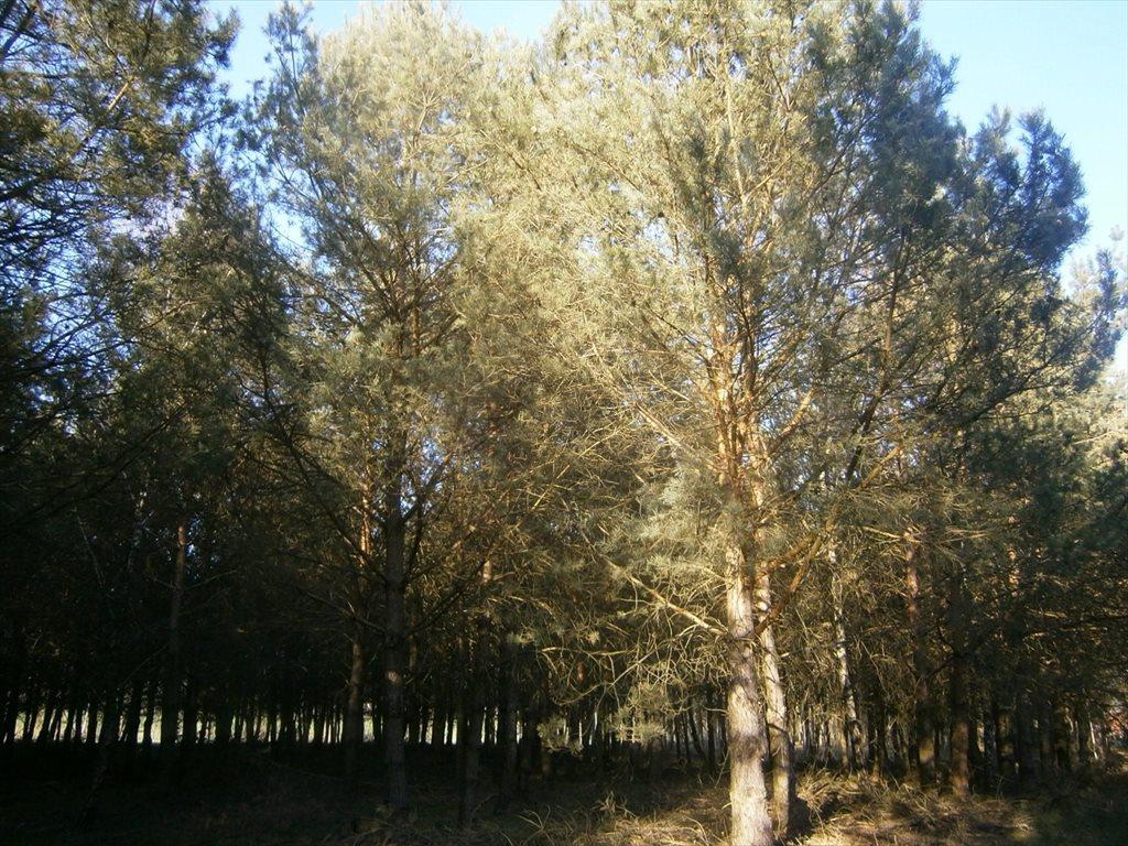 Działka leśna na sprzedaż Stara Wiśniewka  55661m2 Foto 6